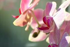 Lilac Orchidee op Zonnige dag op een groene achtergrond huisinstallaties in een vaas op het venster zorg over de ruimtekleuren va stock foto's