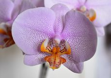 Lilac orchideebloem - knopclose-up Stock Fotografie