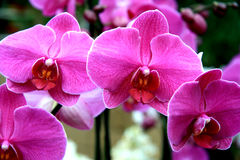 Lilac orchids Royalty Free Stock Image