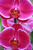 Lilac orchids Royalty Free Stock Photo