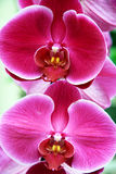 Lilac orchids Stock Images