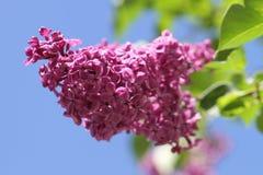 Lilac, Ornamental Shrub, Flowers Royalty Free Stock Photo