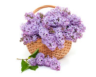 Lilac over white Stock Photography