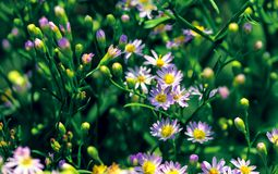 Free Lilac Pale Daisy Spray Flowers As Well Called Rhone Aster Sedifolius In Summer Meadow. Royalty Free Stock Photo - 158046955