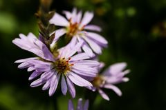 Free Lilac Pale Daisy Spray Flowers As Well Called Rhone Aster Sedifolius In Summer Meadow. Stock Photography - 158229982