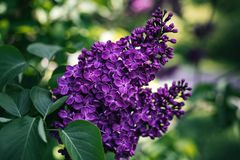 Lilac in the Park - photo of a Bush in the forest stock image