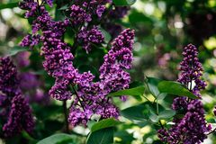 Lilac in the Park - photo of a Bush in the forest stock images
