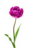 Lilac Perfection Double   Peony  Tulip Royalty Free Stock Photos