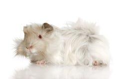 Lilac peruvian guinea pig Stock Images