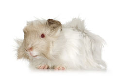 Lilac peruvian guinea pig royalty free stock image