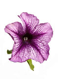 Lilac petunia flower isolated Royalty Free Stock Images