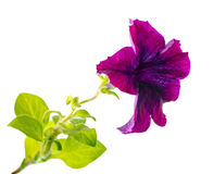 Lilac petunia flower is isolated on white background Royalty Free Stock Photography