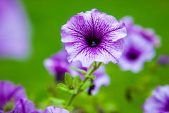 Lilac petunia flower Royalty Free Stock Photography