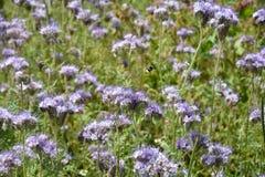 Lilac Phacelia blossoms  on the field. Phacelia blossoms     & x28;  scorpionweed,  heliotrope , Boraginaceae, Kerneudikotyledonen  & x29;      on the field Royalty Free Stock Photo