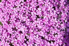 Lilac phlox. Flower background of lilac phlox Stock Photos