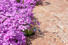 Lilac phlox Stock Photo