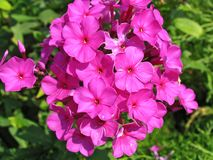 Lilac phlox Royalty Free Stock Photo