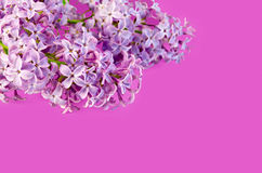 Lilac on a pink background Royalty Free Stock Photography