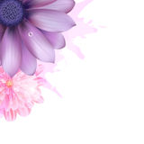 Lilac And Pink Gerbers Royalty Free Stock Photo