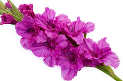 Lilac pleated gladiolus. Is on white background Royalty Free Stock Photos