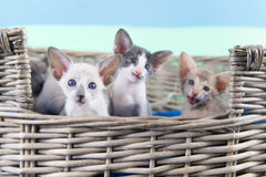 Lilac point siamese cat. Adult Lilac point Siamese cat in hanging bed Stock Photo