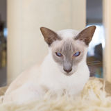 Lilac point siamese cat Royalty Free Stock Image