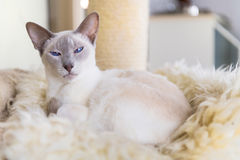 Lilac point siamese cat Stock Photo