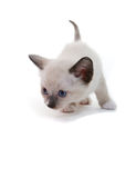 Lilac point Siamese kitten Stock Photography