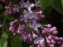 Lilac - poisonous and charming, familiar and mysterious ... royalty free stock images