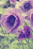 Lilac poppies with water drops in spring. In instagram style ton Stock Photography