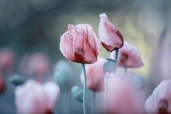 Lilac Poppy Flowers stock photo