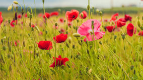 Lilac poppy under red on the green field with wheat. One lilac poppy under red on the green field with wheat Stock Photos