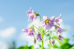 Lilac potato flowers against the blue sky background close-up stock image