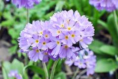 Lilac primrose Primula denticulata Royalty Free Stock Photography