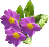 Lilac primula flowers isolated on white Stock Image