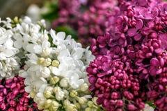 Lilac purper en wit op een houten raad Royalty-vrije Stock Afbeeldingen
