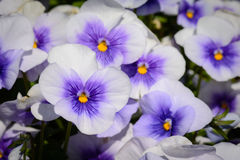 Lilac, Purpere en Gele Viola Pansy-bloemen royalty-vrije stock afbeelding