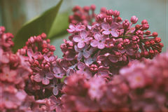 Lilac stock photo