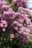 Lilac. Purple flowers of lilac, tree, sky Stock Photos
