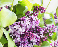 Lilac.Purple Spring Flower Stock Images