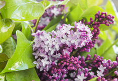 Lilac.Purple Spring Flower Stock Photo