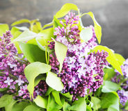 Lilac.Purple Spring Flower Royalty Free Stock Photos