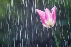 Lilac-purple tulip on the background of tracks of rain drops.  Stock Photos