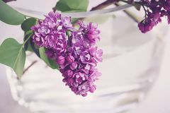 Lilac, Purple, Violet, Spring Royalty Free Stock Photography