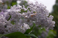 Lilac after rain with water drop on it Stock Image