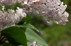 Lilac after rain with water drop Stock Photos