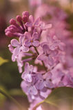 Lilac Stock Photos