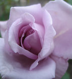 Lilac rose. Close-up royalty free stock photography