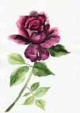 Lilac rose. Watercolor rose original painting. Asian style Stock Images