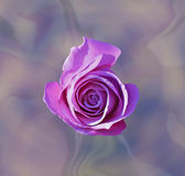 Lilac rose on the abstract background isolated Stock Photography